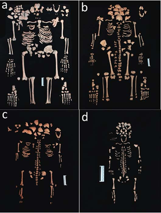 (a) Skeleton of the adult female (b) Skeleton of the 12-year-old sub-adult (c) Skeleton of the 3-year-old sub-adult (d) Skeleton of the 38–40-week-old fetus.