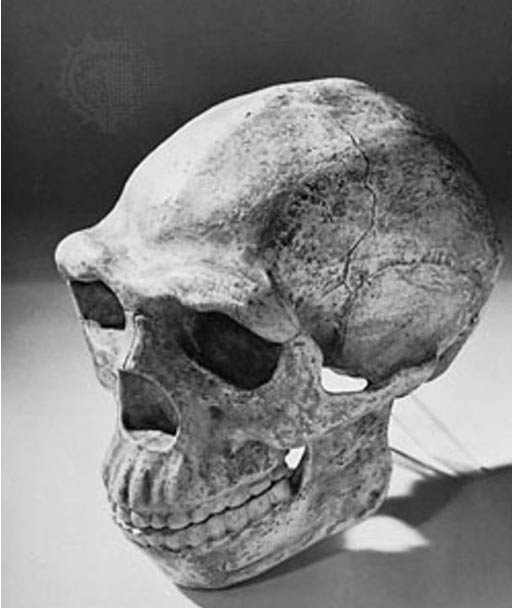 Reconstructed skull of Peking man, based on specimens found at Zhoukoudian, China, and dated to approximately 230,000–770,000 years ago.
