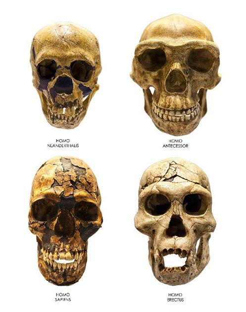 Skulls of Homo Erectus, Sapiens, Neanderthalensis and Antecessor. (Creativemarc /Adobe Stock)