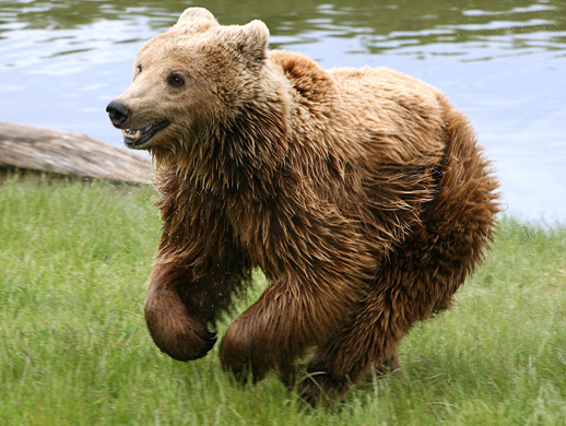 The Eurasian Brown Bear