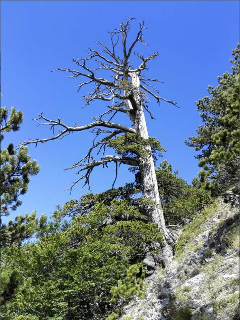 The Heldreich's pine found in Pollino National Park and dated by Gianluca Piovesan of Università della Tuscia in Italy and colleagues. (Image: Gianluca Piovesan)