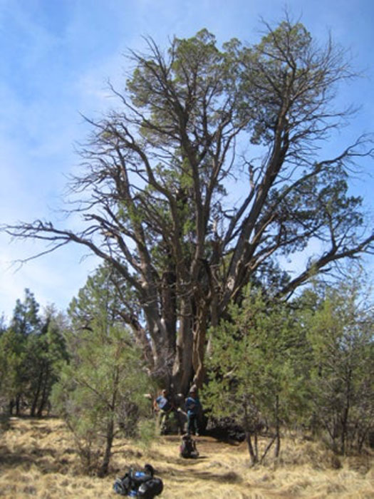 The ancient tree is known as the Medusa Mother Tree. (US Forest Service Tonto National Forest)