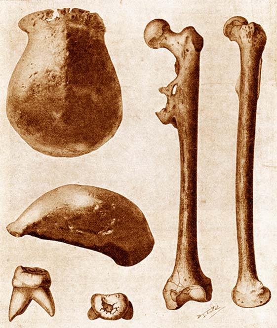 The three main fossils of Java Man found in 1891–92: a skullcap, a molar, and a thighbone, each seen from two different angles. (Public Domain)