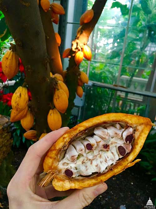 Theobroma cacao, chocolate in its rawest form. (Public Domain)