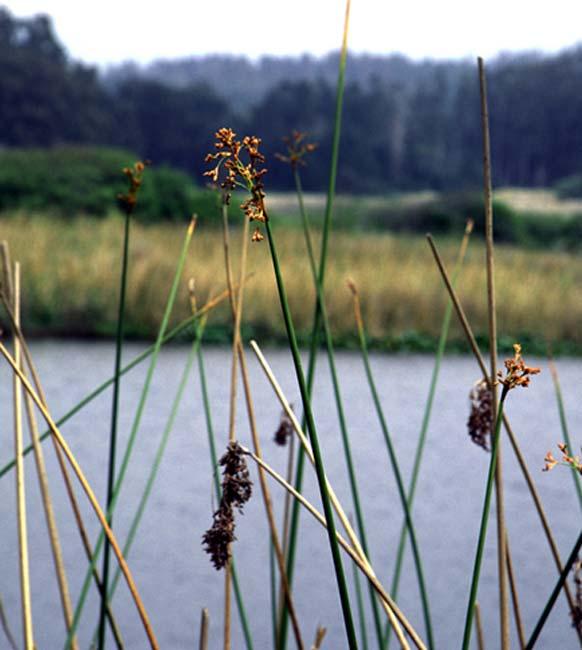 Tule plant reeds (Schoenoplectus acutus)