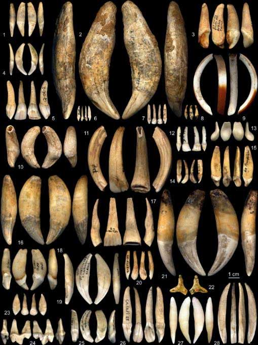 Typology of teeth used as personal ornaments in the Aurignacian