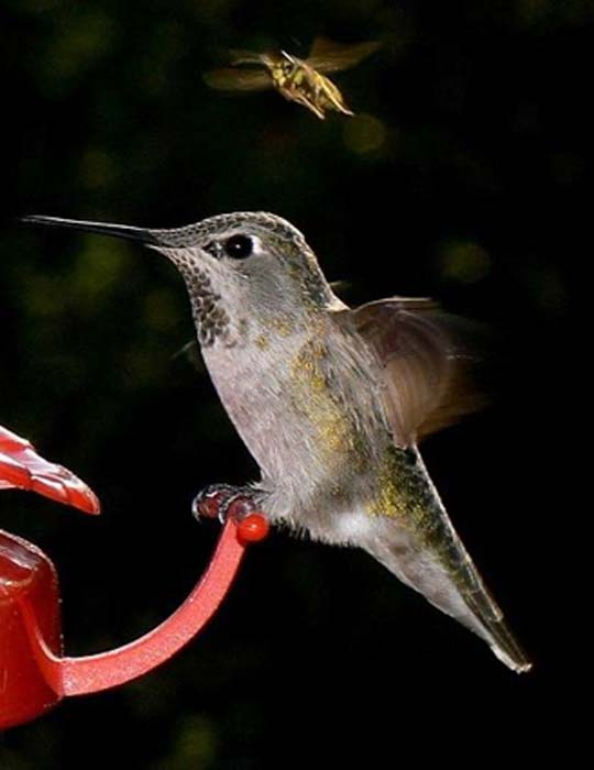 Hummingbird and Bee. (Public Domain)