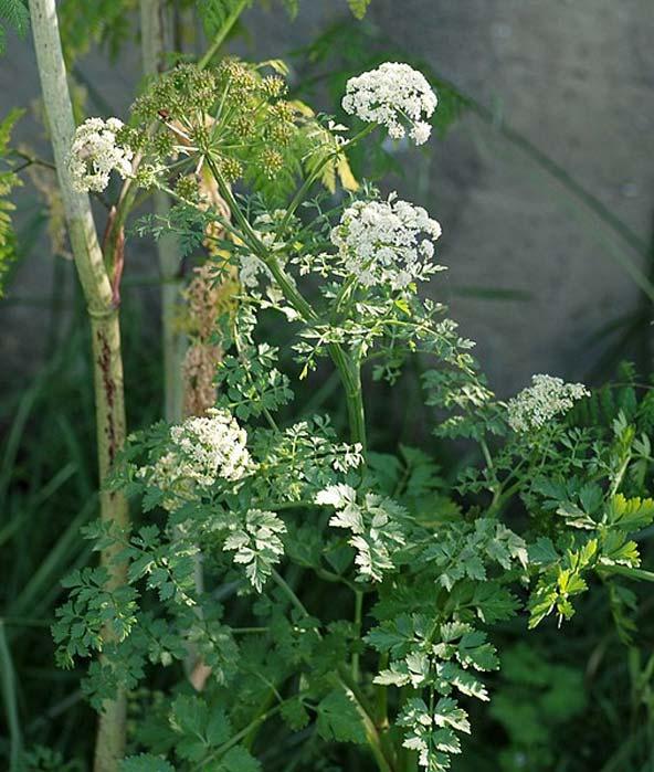 Water Dropwort (Oenanthe crocata).