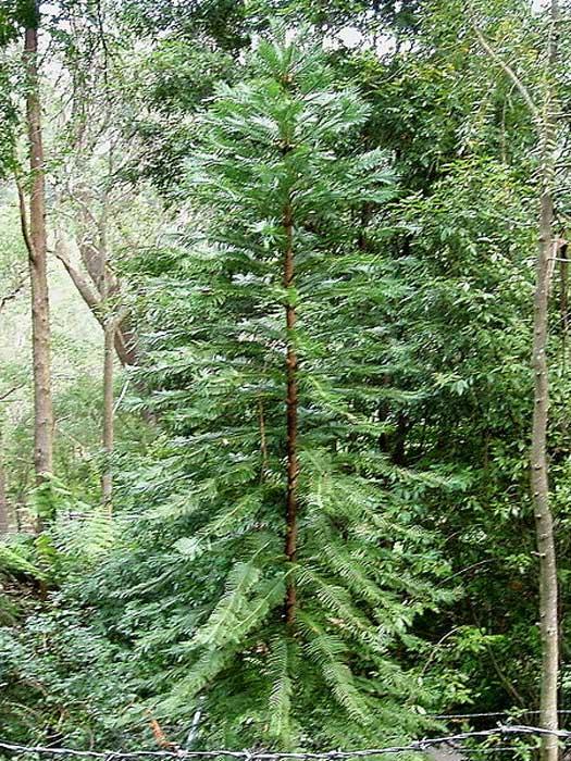 Wollemi Pine. Mount Tomah Botanic Garden. NSW