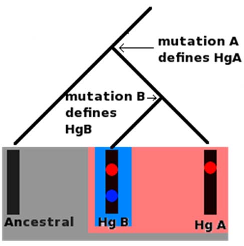 (Gray) Ancestral Haplogroup  (Pink) Haplogroup A (Hg A) (Blue) Haplogroup B (Hg B) All of these molecules are part of the ancestral haplogroup