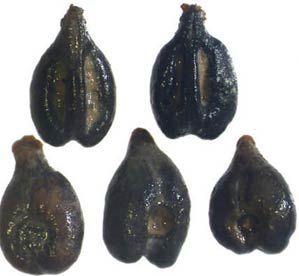 2,000-year-old grape seeds