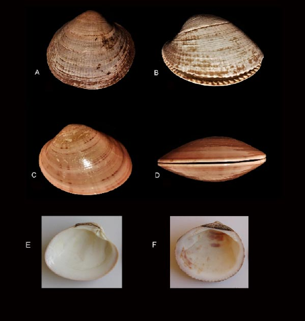 The authors examined 171 modified shells. (A-D Carlo Smriglio/E & F Barbara Wilkens)
