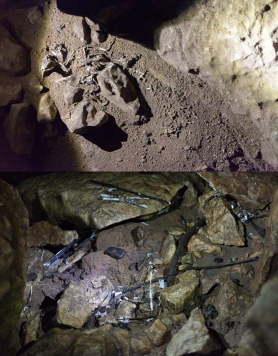The bird skeleton found above a collection of the white substance and twig-like objects.