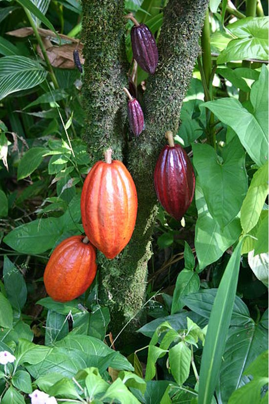 A cacao tree with fruit pods in various stages of ripening.