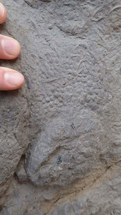 A close up of skin impressions from an iguanodontian footprint. (Neil Davies / University of Cambridge)