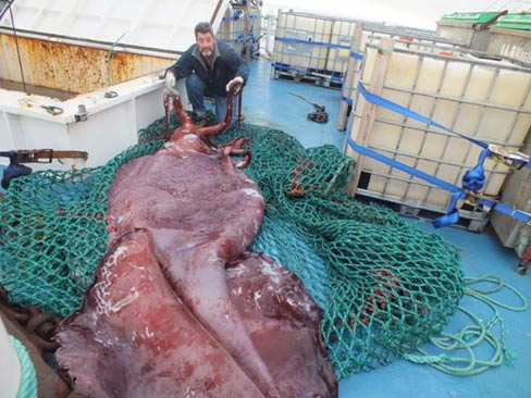 A colossal squid  in New Zealand