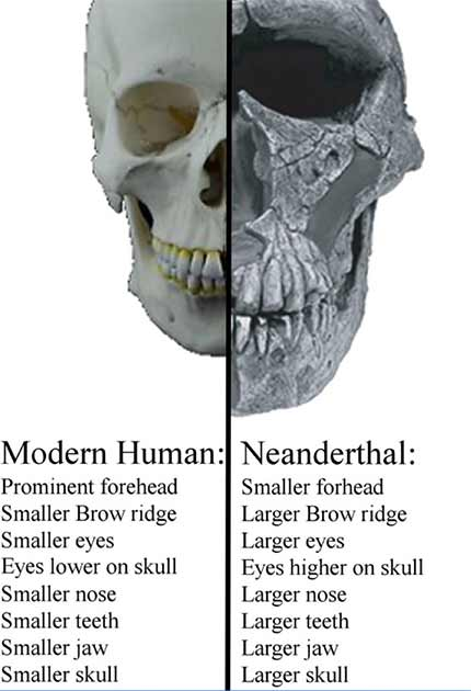 Human and Neanderthal skull comparison. (Author provided)
