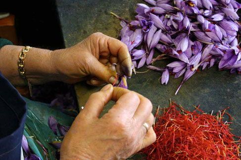 Harvesting saffron from the Crocus sativus flower