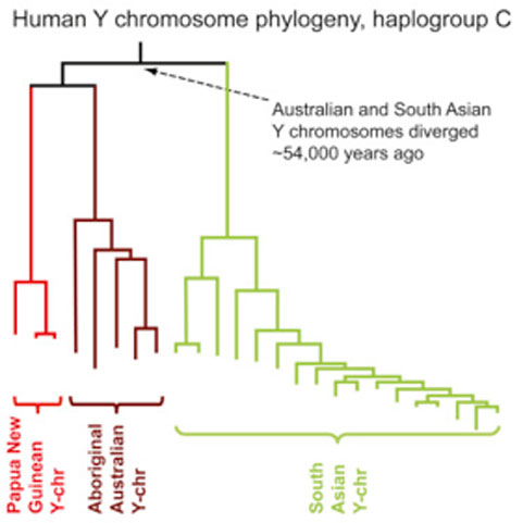 The divergence of Papua New Guinean, Aboriginal Australian, and South Asian Y-chromosomes.