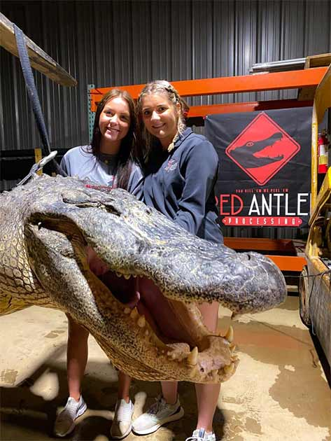 The enormous head of the 750-pound (340-kg) Mississippi alligator, which was 13.4 feet (4.1 meters) long. And inside its stomach butchers found two amazingly ancient Native American artifacts. (Red Antler Processing)