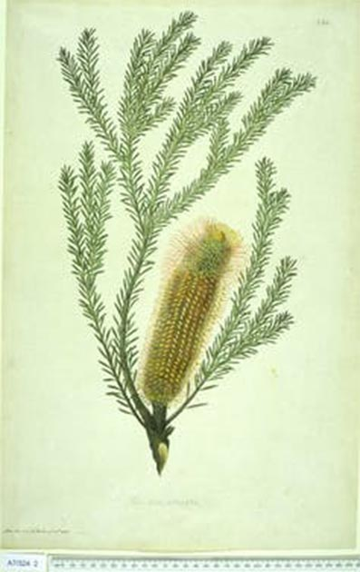 Banksia ericifolia was one of the many species given a new name by Banks. Natural History Museum