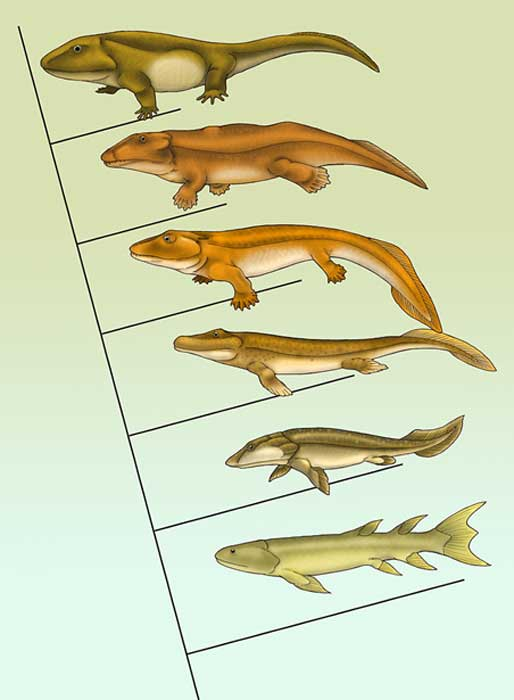 This graphic giving the evolution of tetrapods (four-legged land or hybrid land-sea animals) shows some transitional fossils. It shows Eusthenopteron at the bottom, indisputably still a fish, through several transitional animals to Pederpes at the top, indisputably a tetrapod.