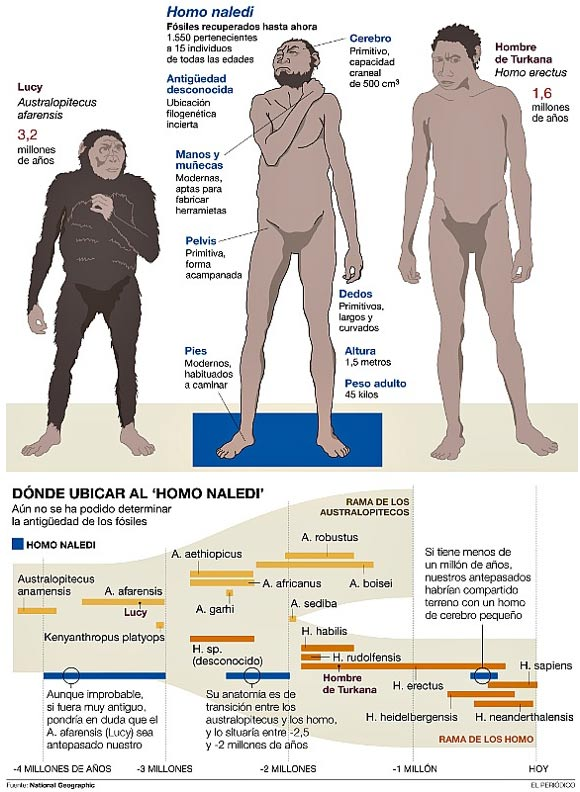 Possible evolutionary chronologies of Homo Naledi in comparison with Australopithecus and Homo Erectus.