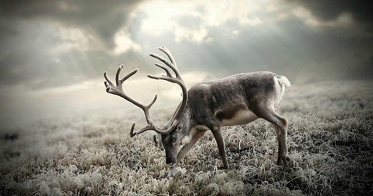 A reindeer. Credit: Wallpaperscraft