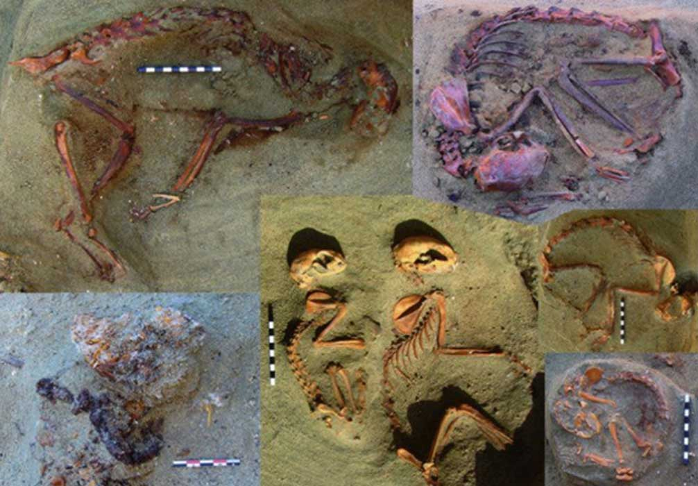 Some of the remains of ancient Egyptian pets unearthed in Berenike.