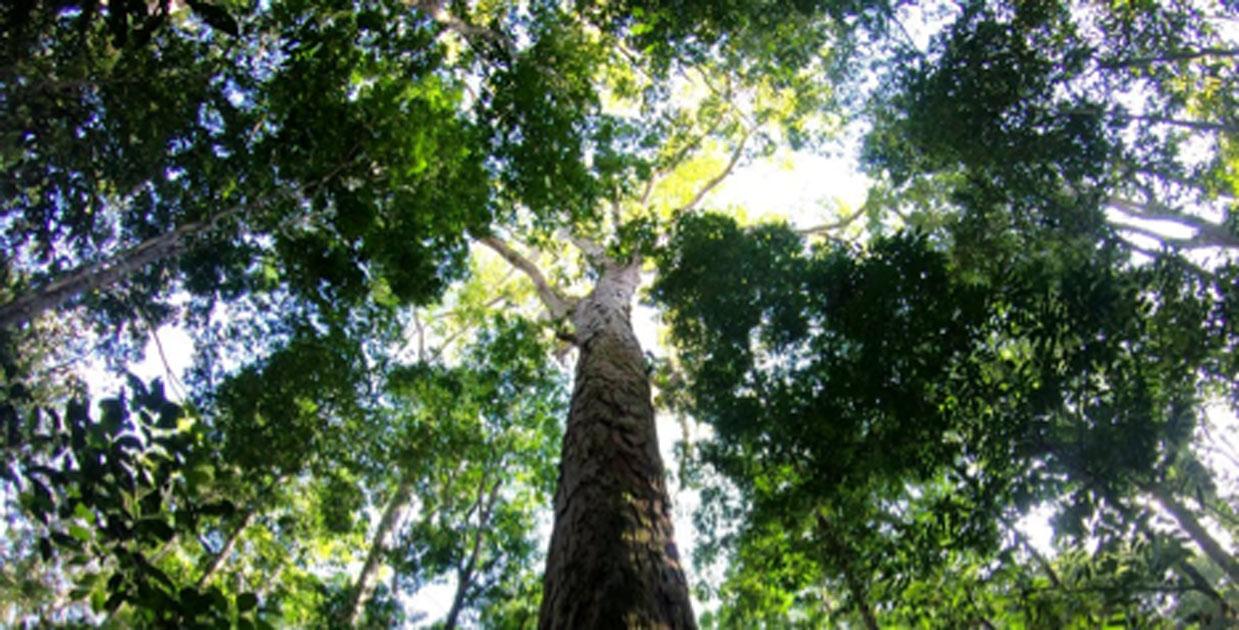 The Amazon's new record-breaking tree. Source: Tobias Jackson