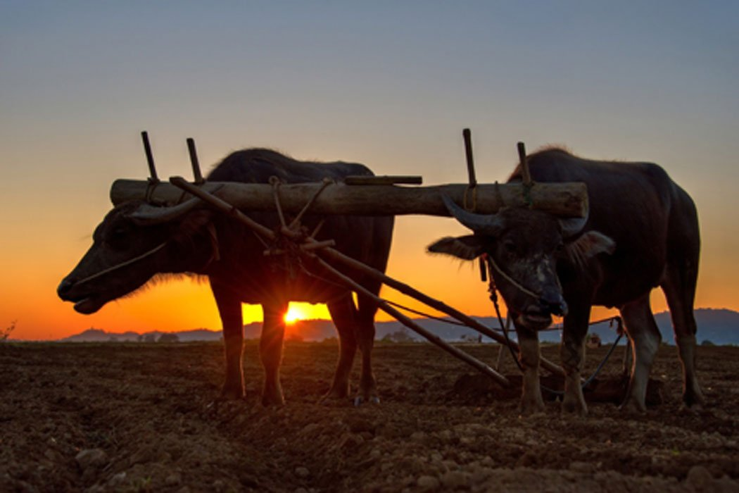 Plowing with an ox team