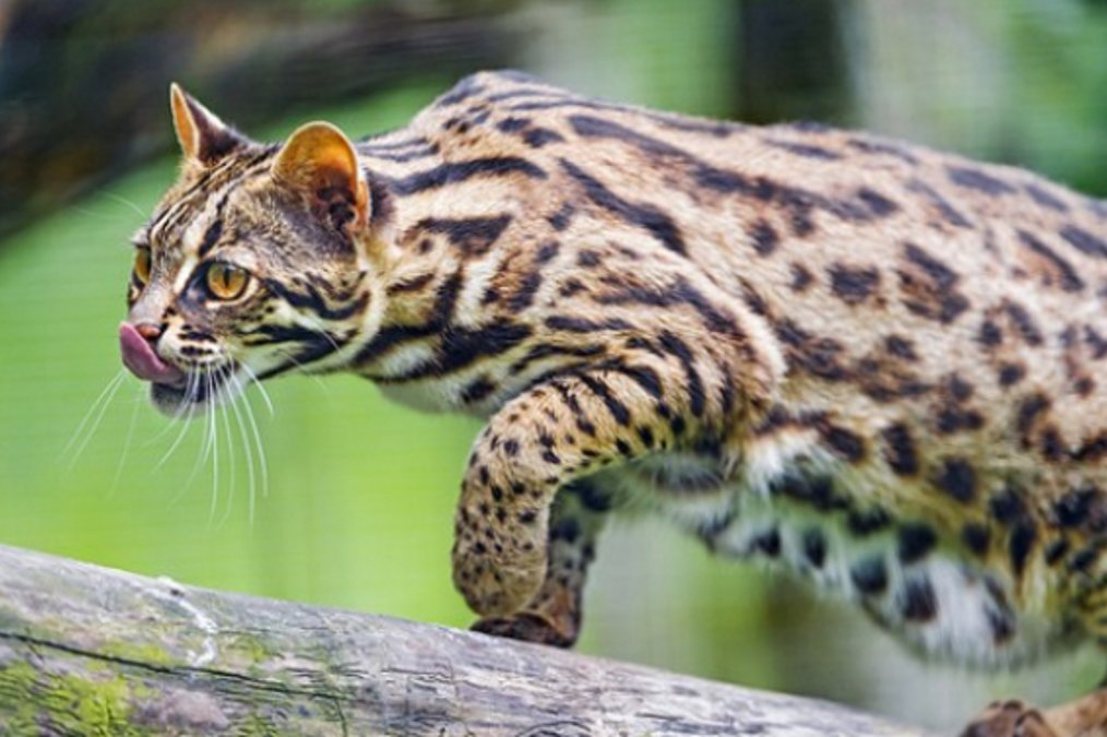 asian cat leopard