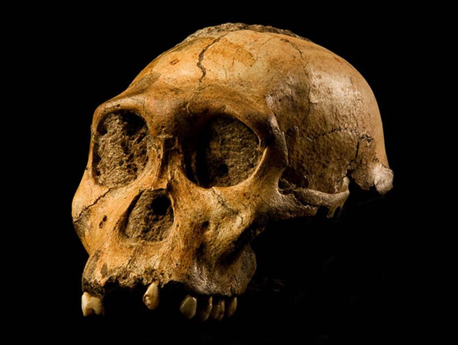 "Skull of Malapa hominid 1 (MH1) from South Africa, named ""Karabo"". The combined fossil remains of this juvenile male is designated as the holotype for Australopithecus sediba.  Source: CC BY-SA 4.0"