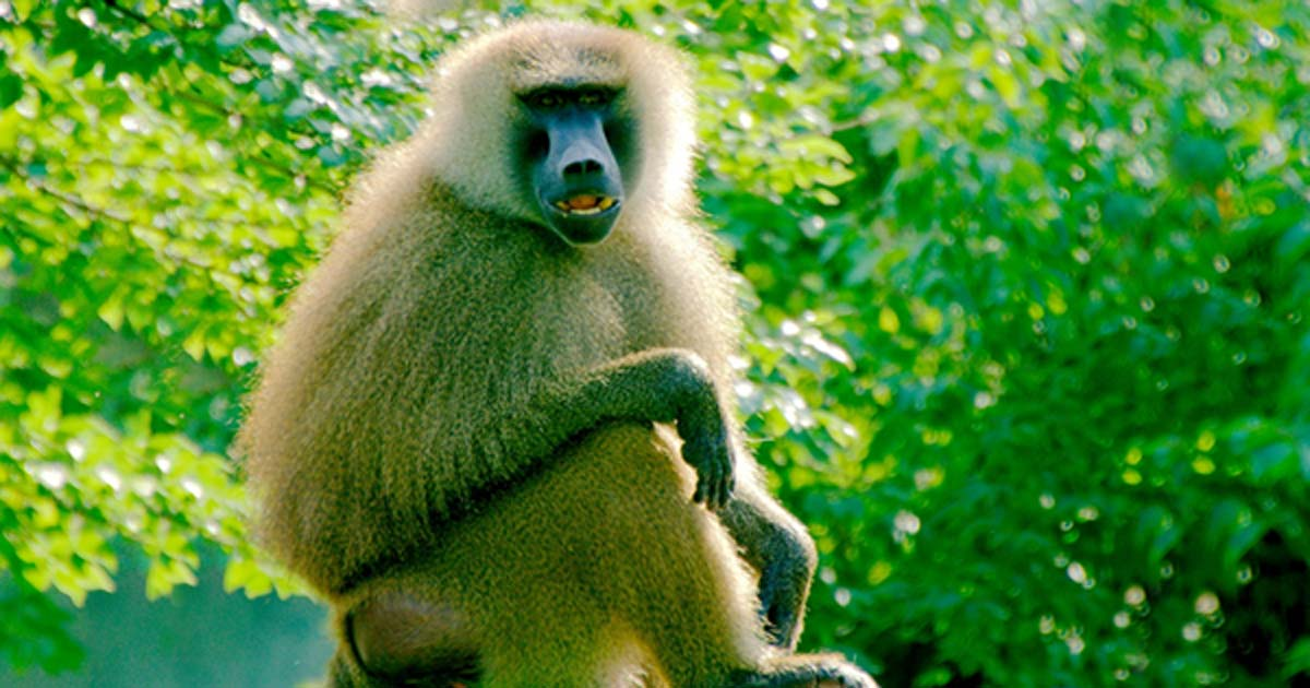 Baboon Sounds May Hold the Key to Understanding the Formation of Human Language