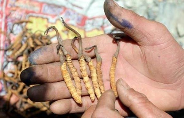 Himalayan 'Viagra' - caterpillar fungus