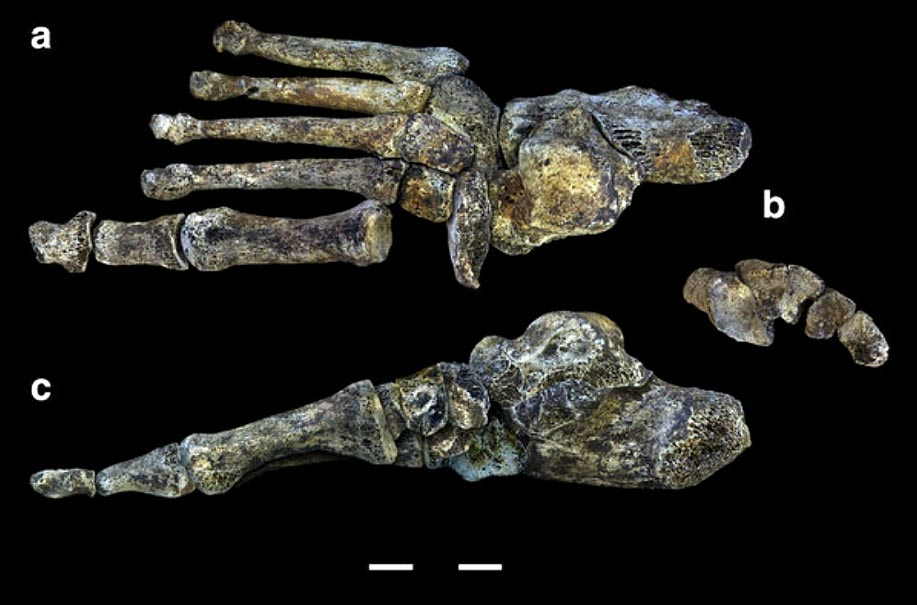 A Homo Naledi Foot (a) Dorsal view (b) Distal view of the cuneiforms and the cuboid in which the reconstruction of the transverse arc is observed (c) Middle view showing the moderate longitudinal arch. Scale in centimeters.