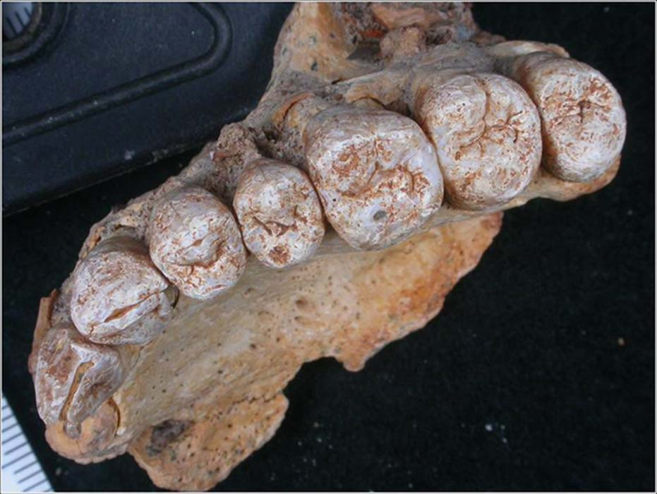 The 177,000 to 194,000-year-old maxilla (upper jaw) of Misliya-1 hominin