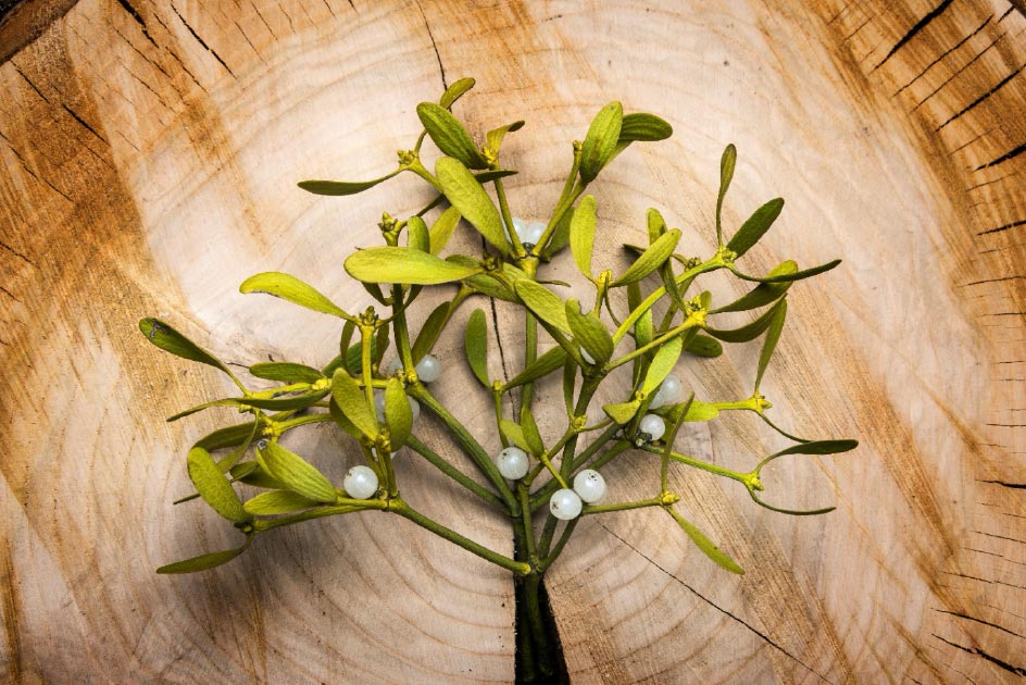 Mistletoe branch. Credit: Vera Kuttelvaserova / Adobe Stock.