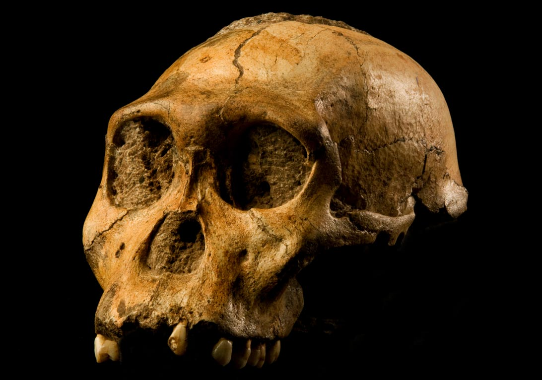 "Skull of Malapa hominid 1 (MH1) from South Africa, named ""Karabo""."