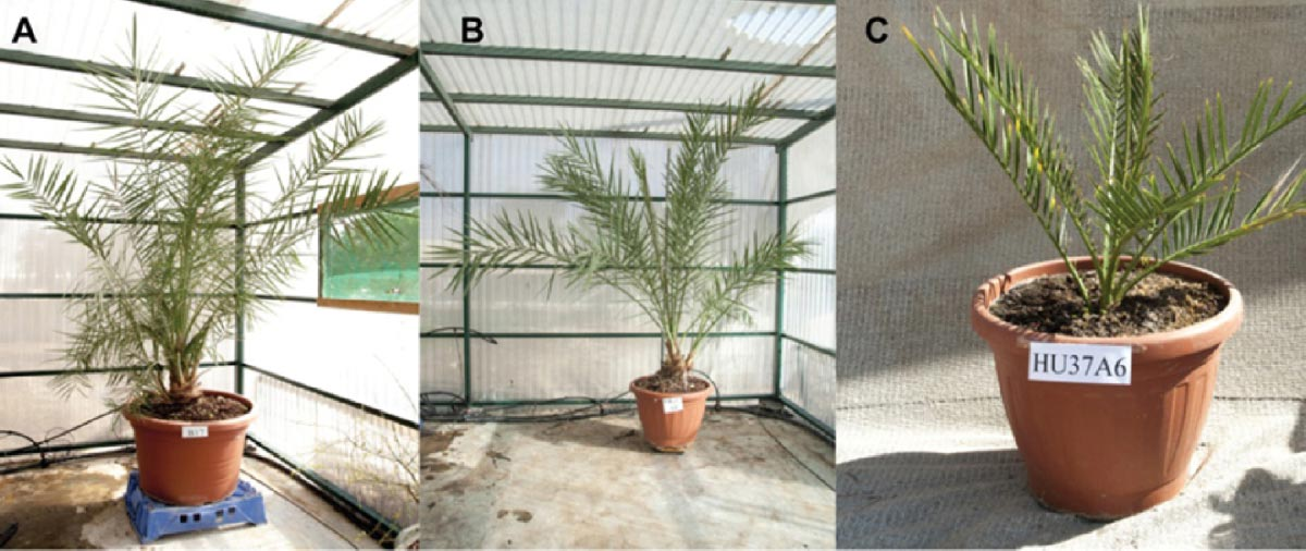 Reborn ancient palm tree saplings    . Source: Guy Eisner / Sciencemag.