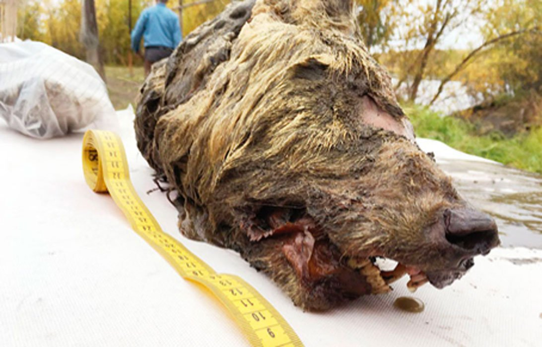 The Pleistocene wolf's head discovered in Yakutia. 	Source: Albert Protopopov / Fair Use.