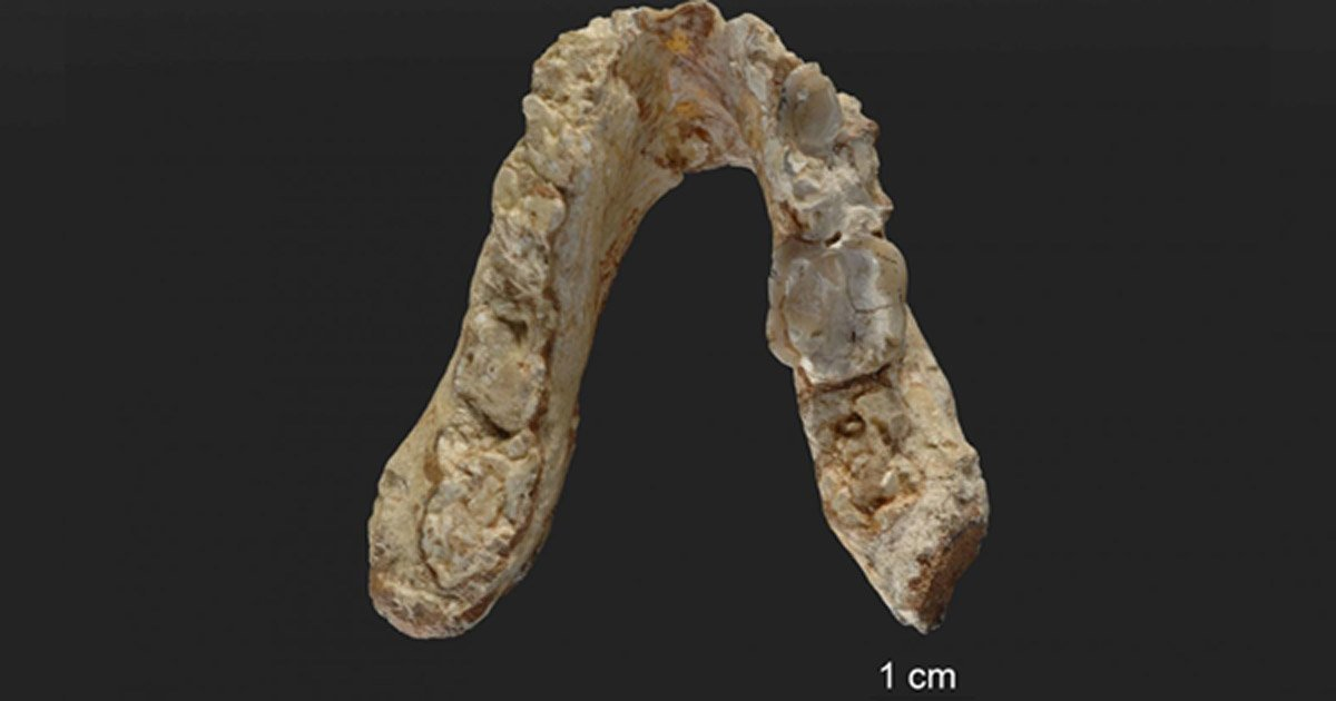 The lower jaw of the 7.175 million-year-old Graecopithecus freybergi (El Graeco) from Pyrgos Vassilissis, Greece (today in metropolitan Athens).