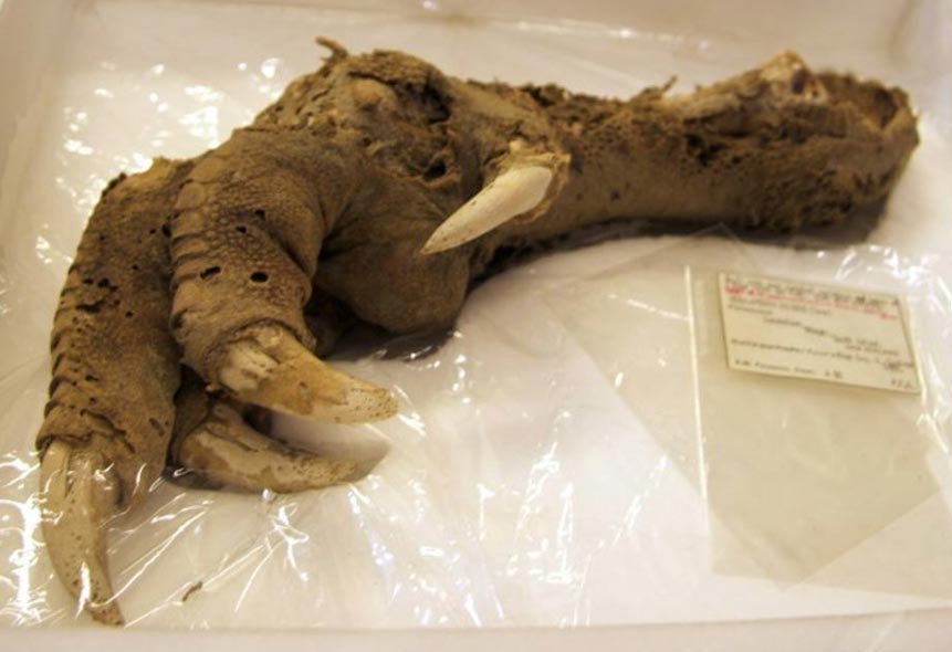 Preserved Megalapteryx (moa) foot, Natural History Museum