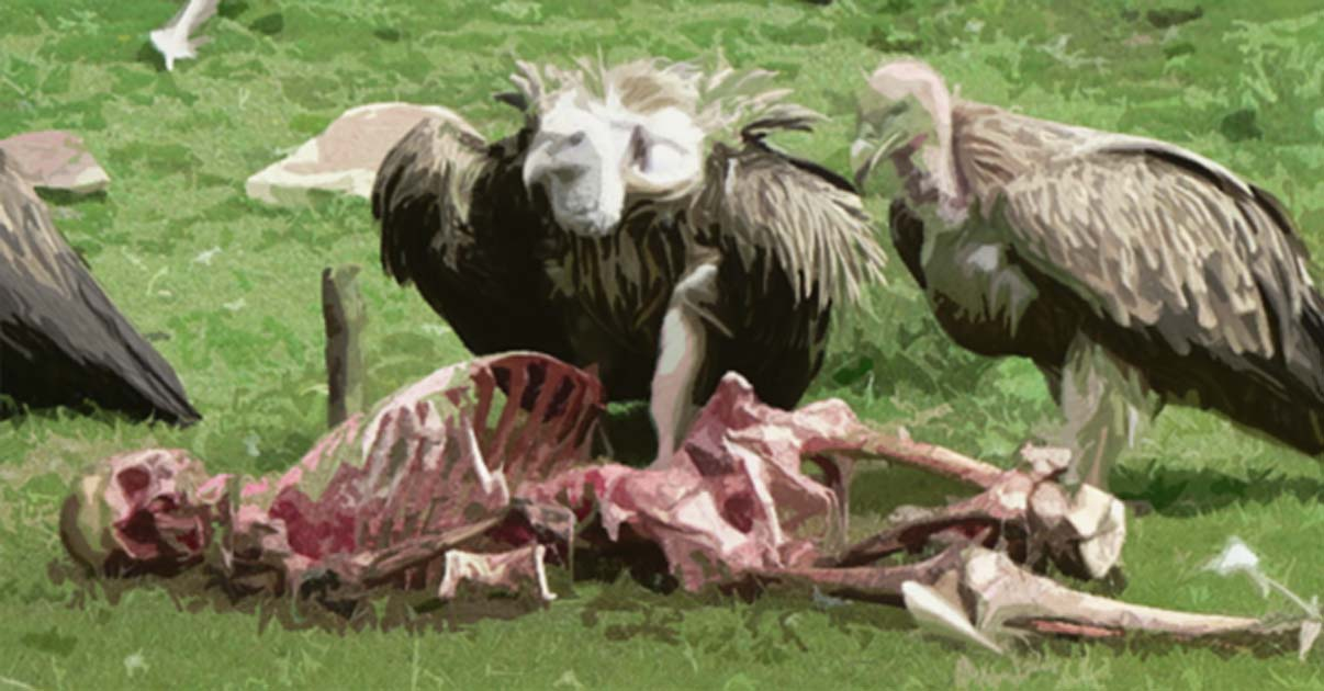 Vultures are not sexually dimorphic, which means males and females do not show.