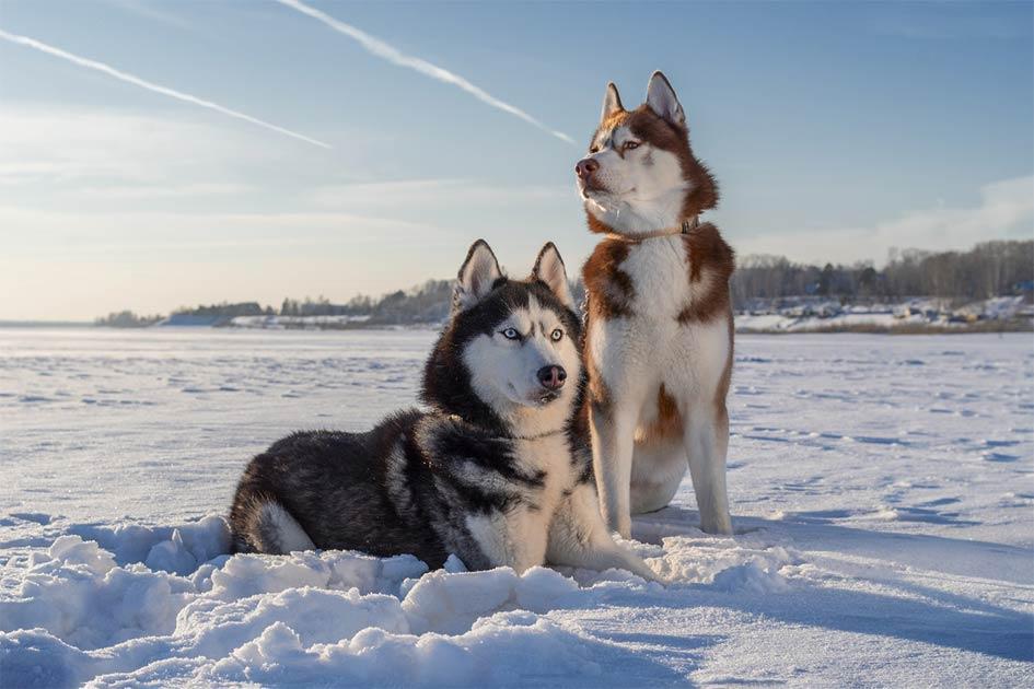 Siberian huskie sled dogs.     Source: Konstantin / Adobe Stock