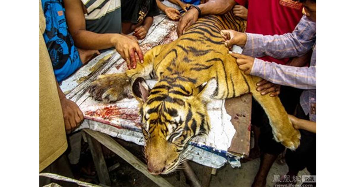 A Sumatran tiger killed in Indonesia in 2016