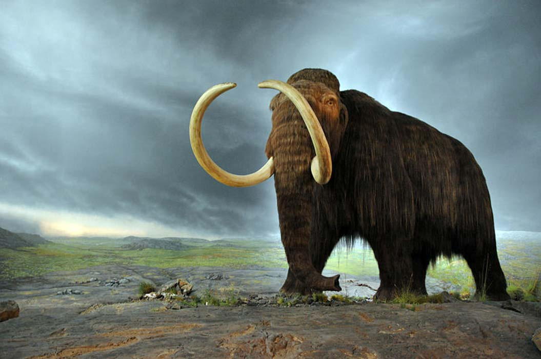 Mammoth in the Royal BC Museum in Victoria (Canada). The display is from 1979, and the fur is musk ox hair.