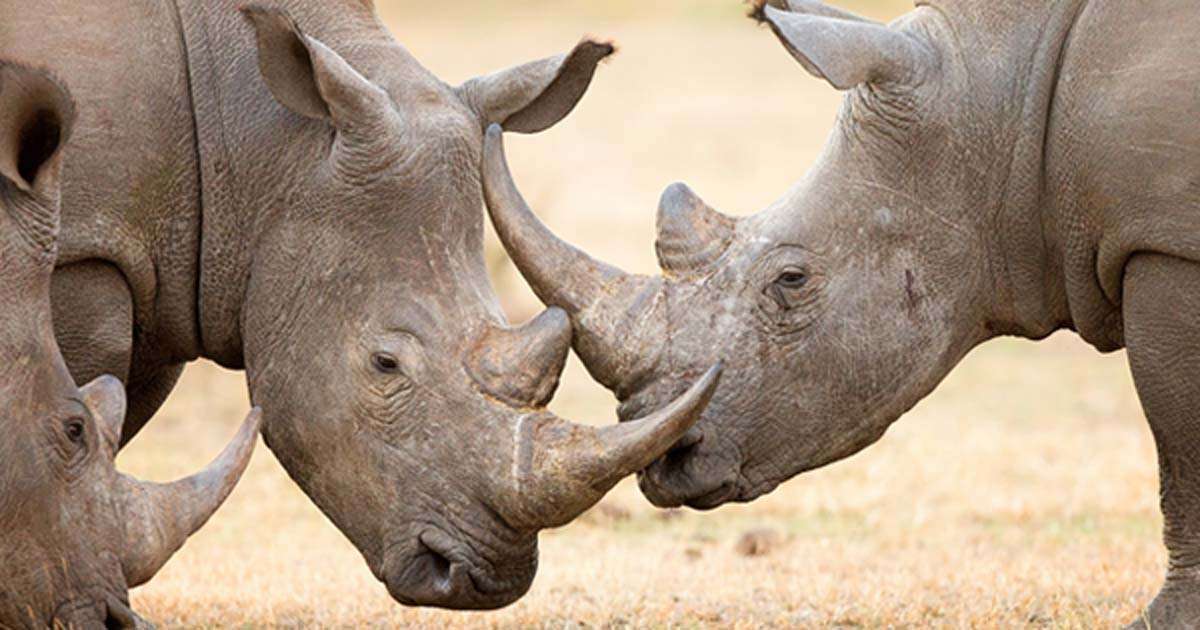 White rhinoceros locking their horns.