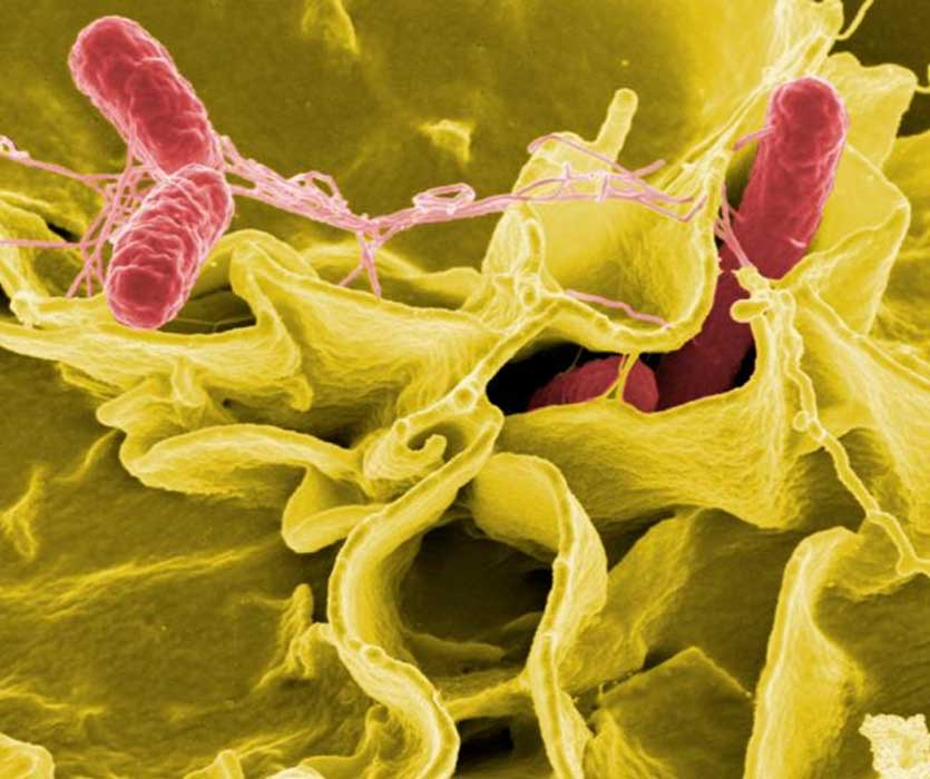 Salmonella bacteria, a common cause of foodborne disease, invade an immune cell.