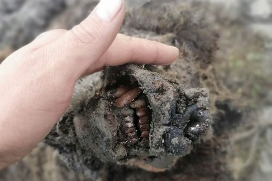 The perfectly preserved snout of the adult Ice Age bear recently found in Russia.        Source: North-Eastern Federal University in Yakutsk (NEFU)